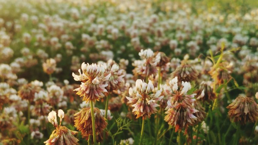 Clover Field Flower Nature Plant Flower Head Growth Beauty In Nature No People Landscape Day Outdoors Fragility Close-up Freshness