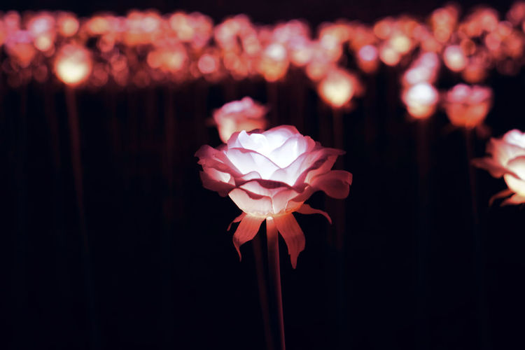 AI Now Lights Red Artificial Beauty In Nature Black Blooming Close-up Flower Flower Head Focus On Foreground Fragility Freshness Growth Nature Night No People Outdoors Petal Rosé White