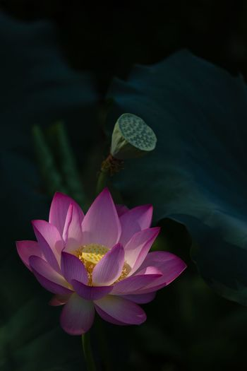 Flower Flowering Plant Plant Beauty In Nature Petal Freshness Inflorescence Pink Color Flower Head Close-up Water Lily Lotus Water Lily No People Plant Part