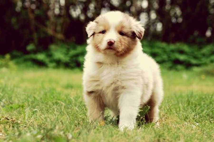 That's Me First Eyeem Photo My Dog Is A Model  Cute Pets Australianshepherd 6 Weeks Old Beautiful Beauty In Nature Model Blue Eyes Funny Nose Happy I Love My Dog I Love It ❤