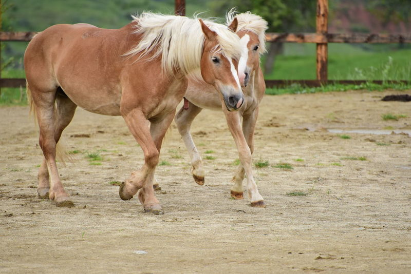 horse Animal Themes Day Domestic Animals Field Full Length Livestock Mammal Nature No People One Animal Outdoors