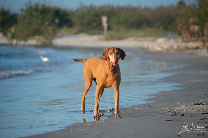 Animal Themes Beach Day Dog Dog Love Dogs Dogs Of EyeEm Dogslife Domestic Animals Focus On Foreground Looking At Camera Mammal Nature No People One Animal Outdoors Pets Portrait Sand Sea Sky Standing Vizsla Vizsla Life Water
