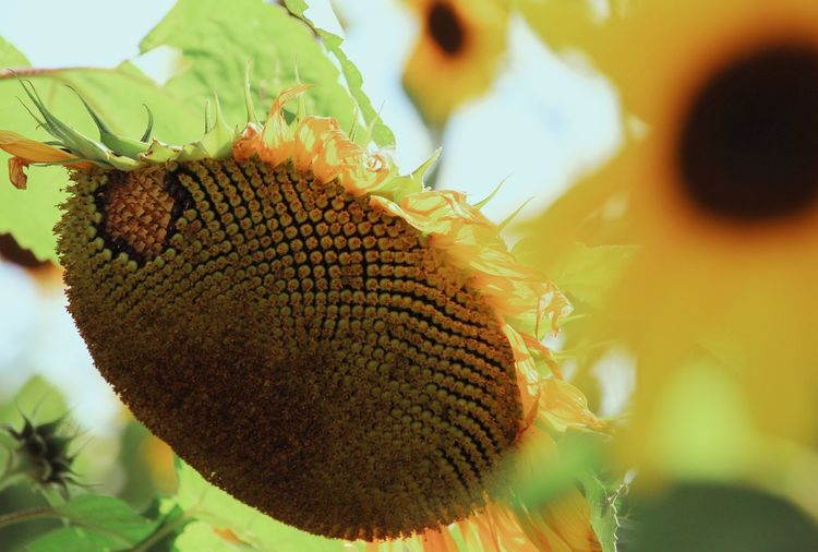 Close-up of insect on sunflower