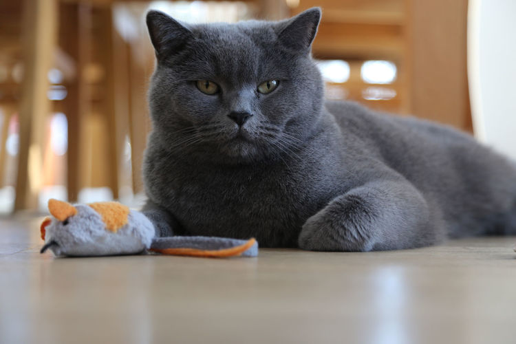 british shorthair cat lying on floor with toy mouse BKH Kater Animal Themes Bkh British Shorthair British Shorthair Cat Cat Close-up Day Domestic Animals Domestic Cat Feline Indoors  Looking At Camera Mammal No People One Animal Pets Portrait Sitting Table Toy Mouse Whisker