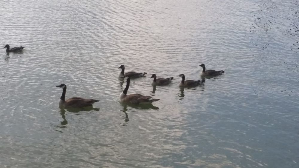 Animal Family Animal Themes Animal Wildlife Animals In The Wild Beauty In Nature Bird Day Goose Gosling Lake Nature No People Outdoors Swimming Togetherness Water Water Bird Waterfront Wildlife Young Animal Young Bird