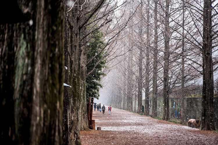 Metasequoia Damyang Metasequoia Road Damyang Snowing Snow Korea South Korea