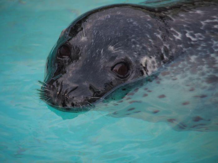 seal Water Sea Underwater Animal Swimming Animal Wildlife One Animal Mammal Day Aquatic Mammal