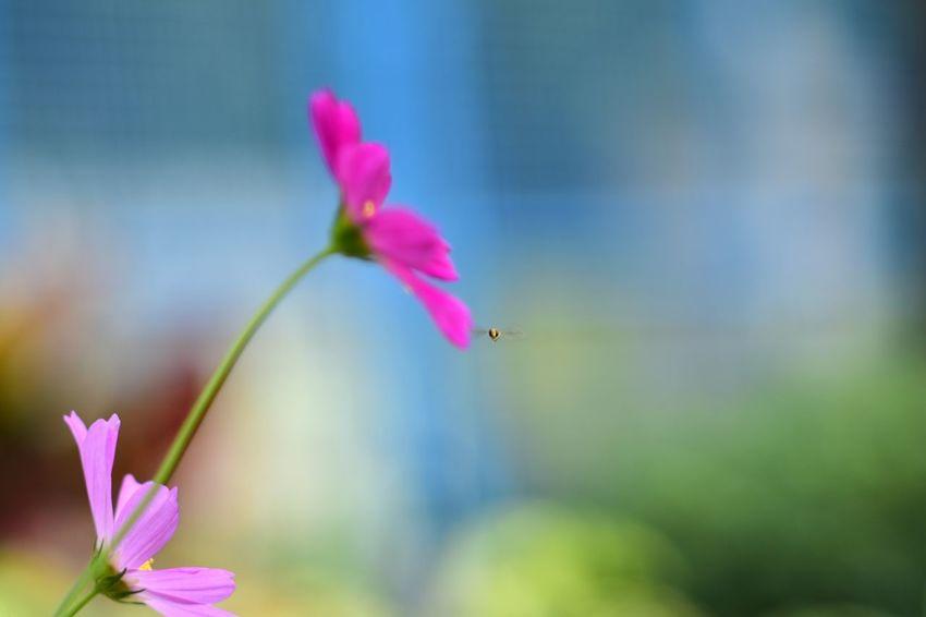 a flying bee EyeEm Best Shots EyeEm Nature Lover EyeEm Gallery Eyeem4photography Beauty In Nature Flower Head Flower Cosmos Flower Petunia Pink Color Petal Purple Springtime Close-up Plant Stamen Flowering Plant Blossom In Bloom Botany Pollen Blooming