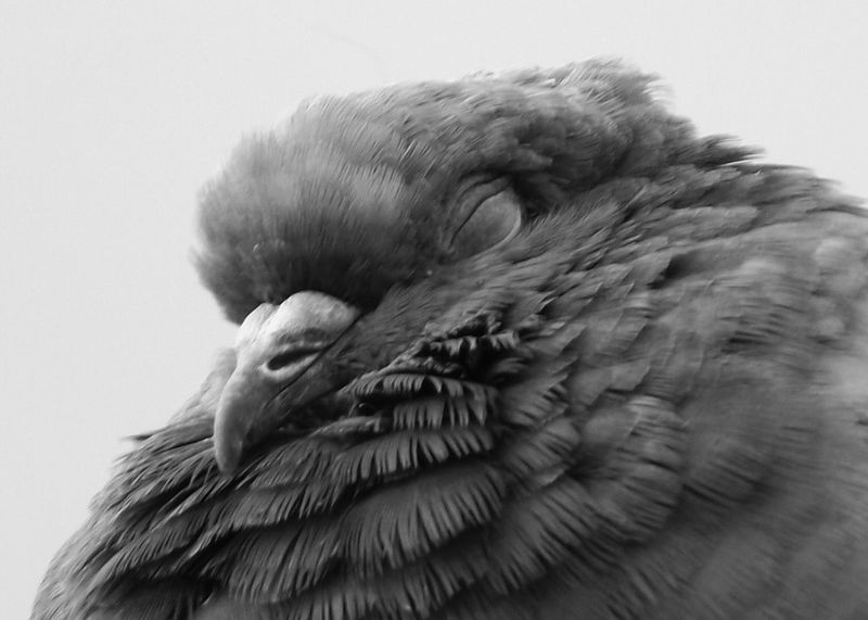 A pigeon fast asleep taken at Piccadilly Gardens ManchesterBlack And White Birds Pigeon Bird  B&w Birds Bnw_friday_eyeemchallenge The Beauty Of Nature Wildlife Photography Wildlife & Nature EyeEm Best Shots - Nature Fujifilm Close Up Close Up Photography Hdr_captures EyeEm Best Shots - HDR Malephotographerofthemonth Showcase July 2016 Close-up Macro Beauty Fine Art Photography EyeEm Masterclass Birds Of EyeEm  Birds Birds_collection EyeEm Birds Maximum Closeness Nature And Wildlife By Tony Bayliss