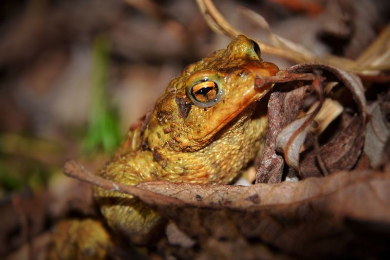 One Animal Animal Themes Animals In The Wild Reptile Close-up Nature Animal Wildlife No People Outdoors Frog Common Toad Bufo Bufo