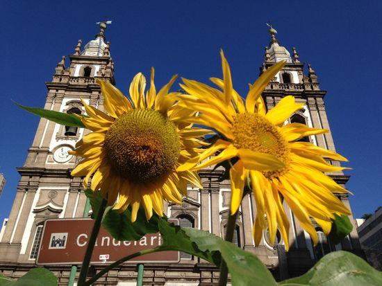 Igreja Da Candelária Girassol Sunflower Igreja Church Yellow Flores Flowers Rio De Janeiro EyeEm Rio