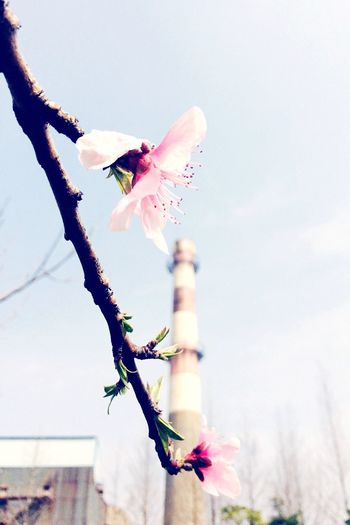 Spring Flowers Spring Hello World Shanghai IPhoneography On The Road Enjoying Life Taking Photos Sunshine ☀ Cityscape