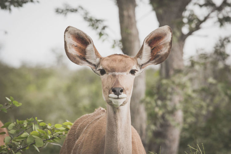 Close-up portrait of antelope against trees