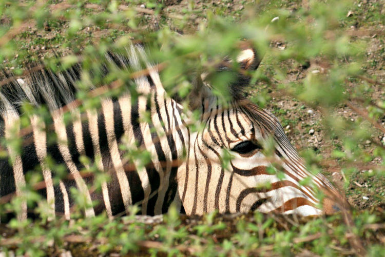 Animal Markings Animal Wildlife Beauty In Nature Close-up Grass Nature No People Wildlife Zebra