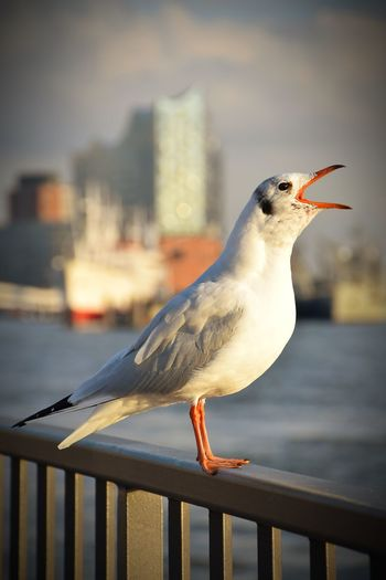 Nature Gull On Railing Gull Beauty In Nature Sunlight Sunshine Outdoors Focus On Foreground Silhouette Silhoutte & Sky River Elbe ♥️ Bird Perching Water Seagull Railing City Animal Themes Close-up Sky Sea Bird Pier Beak Harbor