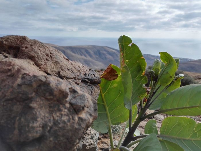 Auf dem Pico de la Zarza Leaf Nature Plant Outdoors No People Sky Beauty In Nature Close-up Day Steiniger Weg Beatiful View Fuerteventura NewToEyeEm No Edit/no Filter Smartphone Photography Pico De La Zarza Growth Freshness Mountain Bergwandern Nature Life In Colors Cloud - Sky Blumen Green Color