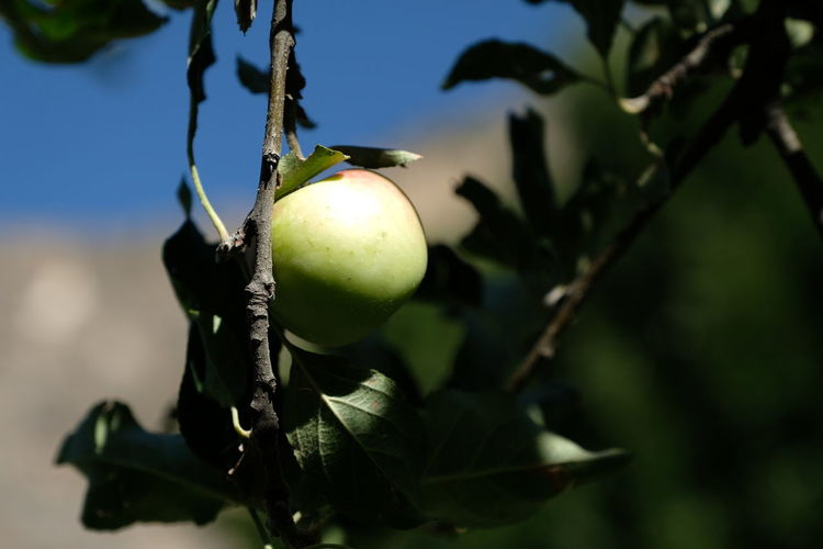 Fruit Food Plant Growth Food And Drink Tree Healthy Eating Focus On Foreground No People Nature Green Color Freshness Close-up Day Sunlight Leaf Branch Fruit Tree Outdoors Plant Part Ripe