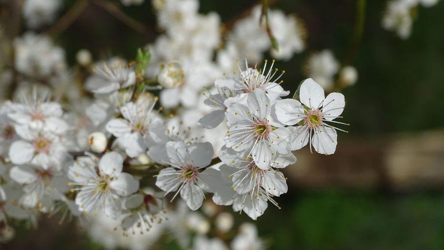 Springtime Spring Flower Head Blütenzauber Blütenschönheit Flower White Color Flowering Plant