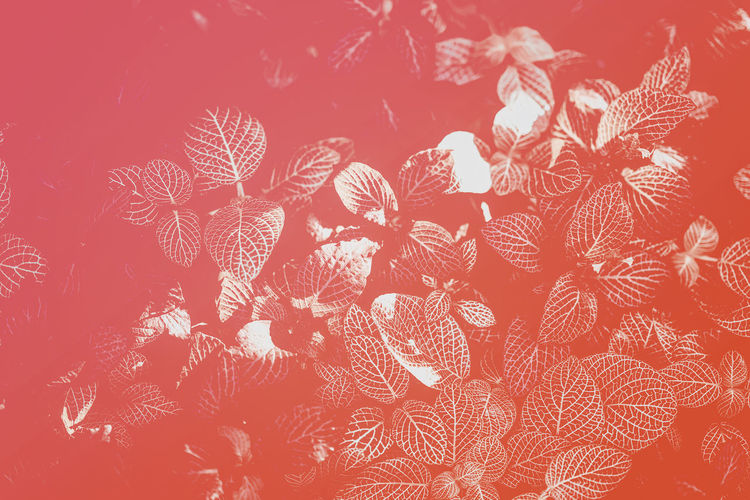 Abstract natural texture of natural leaves close-up toned in living coral color. Fashionable, trendy color, bright colorful background for text High Angle View Creativity Orange Color Day Design Decoration Nature Art And Craft Floral Pattern Textured  No People Pattern Red Close-up Coral Colored Coral Living Coral Leaf Leavs Colorful Bright Background Flowers Botany