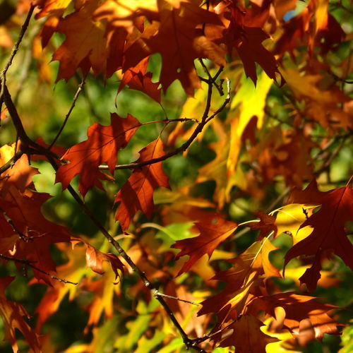 Herbstlaub. Eiche im Garten. Garden Eiche Hobbyphotography EyeEmNewHere EyeEm Nature Lover Colorful Tree Branch Leaf Autumn Maple Tree Close-up Plant Autumn Collection
