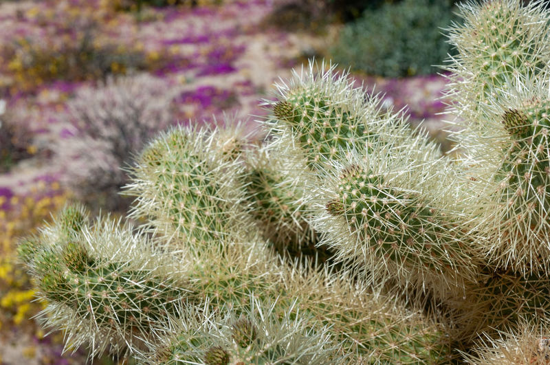 Anza Borrego Desert Flowers Cactus Plant Growth Succulent Plant Thorn Close-up Nature No People Beauty In Nature Flower Sharp Spiked Green Color Day Focus On Foreground Purple Freshness Outdoors Desert Flowering Plant Arid Climate Spiky Anza Borrego