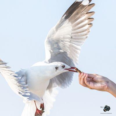 ป้อนถึงปาก 7DmkII Seagull Mixrinho Canon Earthpix Wildlifeplanet
