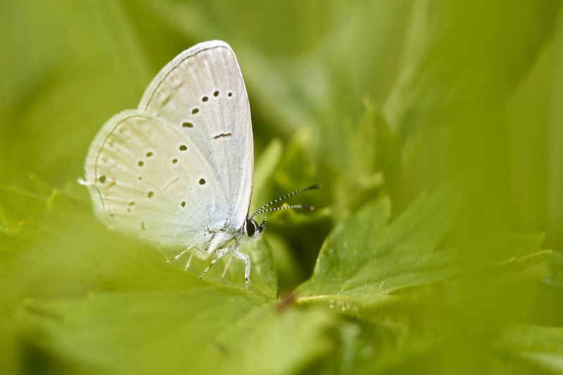Cupido Argiades Animal Animal Themes Animal Wildlife Animal Wing Animals In The Wild Beauty In Nature Butterfly Butterfly - Insect Close-up Flower Green Color Growth Insect Invertebrate Leaf Nature No People One Animal Outdoors Plant Plant Part Selective Focus Short Tailed Blue