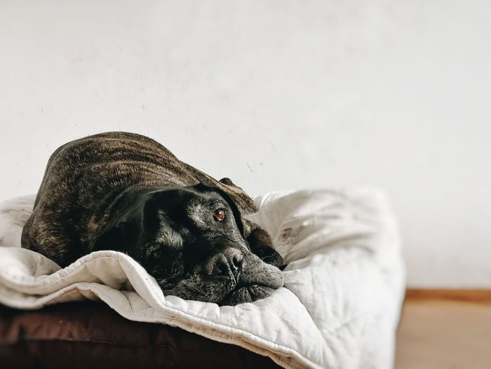 Close-up portrait of dog relaxing on pet bed at home