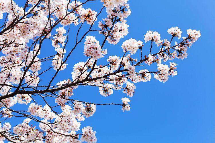 桜🌸 Fragility