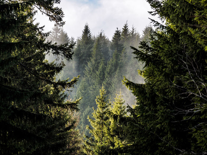 Low angle view of pine trees in forest against sky