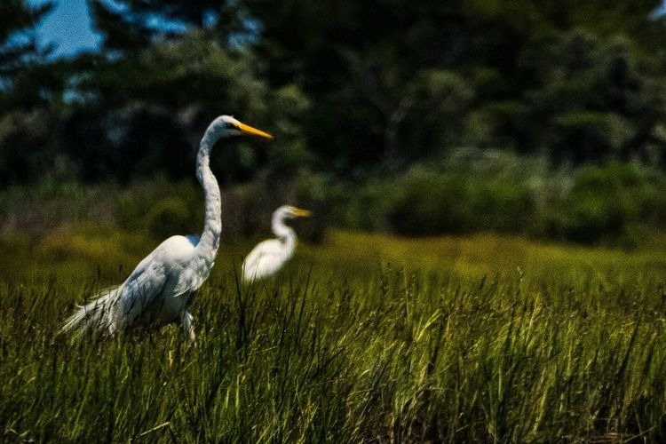 LBI New Jersey Long Beach Island Showcase July The Week On Eyem EyeEm Best Shots Summer Egret White Bird Marsh Bird Photography Marsh Grass Bird Birds