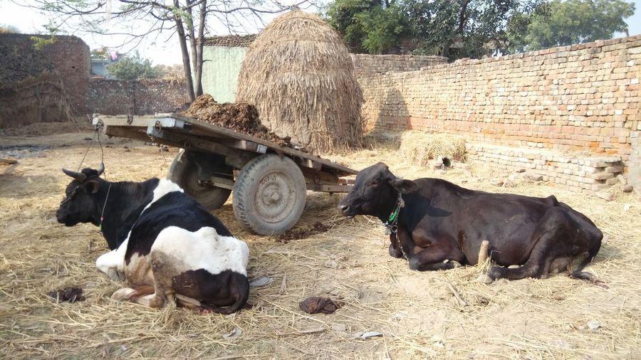 Domestic Animals Livestock Outdoors