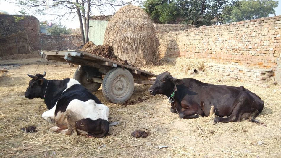 Domestic Animals Livestock Outdoors