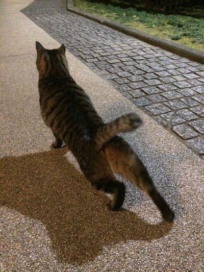 夜ねこ キジトラ 走り猫 の柔軟w