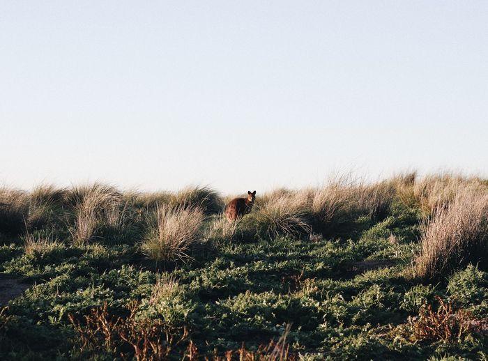 Kangaroo standing on land against clear sky