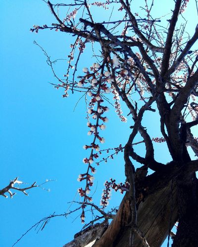 Tree Branch Low Angle View Nature Sky Blue No People Beauty In Nature Outdoors Apricot Tree Apricot Blossom Edited By @wolfzuachis On Market Wolfzuachiv Huaweiphotography Ionitaveronica Wolfzuachis Showcase: 2017 Veronicaionita @WOLFZUACHiV Showcase: March Veronica Ionita Eyeem Market Spring Blossoms Springtime