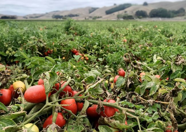 Ripe Roma tomatoes ready for harvest. Tomato Field Processing Tomato Roma Tomatoes Commercial Agriculture Crop Production Agricultural Field Horizontal Tomatoes Tomato Food Food And Drink Field Growth Plant Day Green Color Fruit Landscape Healthy Eating Agriculture Red Focus On Foreground No People