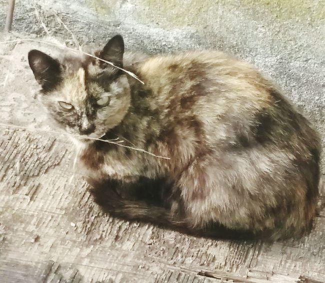 Felino Gato😽 Mascota gata morisca No People