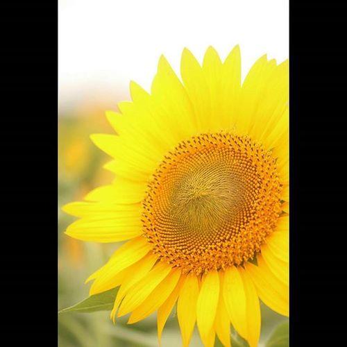 ひまわり ひまわり 向日葵 花 植物 夏 三本木 大崎市 ひまわりの丘 Sunflower