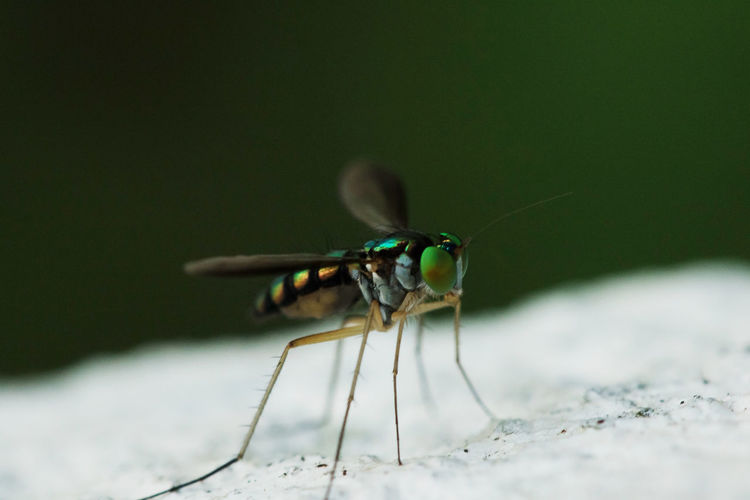 Close-up of fly