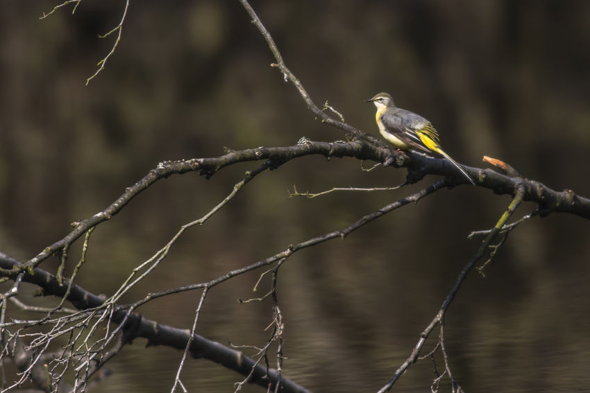 A greay wagtail is searchin for fodder Birds Of EyeEm  Motacilla Cinerea Nature Wagtail Animal Animal Themes Animals Animals In The Wild Bird Birds Birds Life Day Feather  Fodder Great Wagtail Landscape Meadow Nature No People One Animal Outdoors Outdoors Photograpghy  Plumage Wildlife