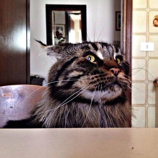 Maine Coon My Cat Mi è semblato di vedele un gatto ?