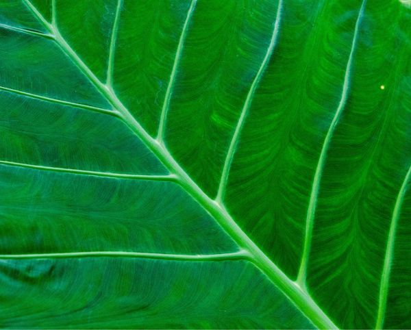 Massive rainforest leaf Koh Chang Thailand Photos Thailand_allshots Rainforest Green Color Backgrounds Full Frame No People Growth Pattern The Still Life Photographer - 2018 EyeEm Awards Close-up Plant Beauty In Nature Nature Textured  Leaf Plant Part Leaf Vein Environment Agriculture Gardening