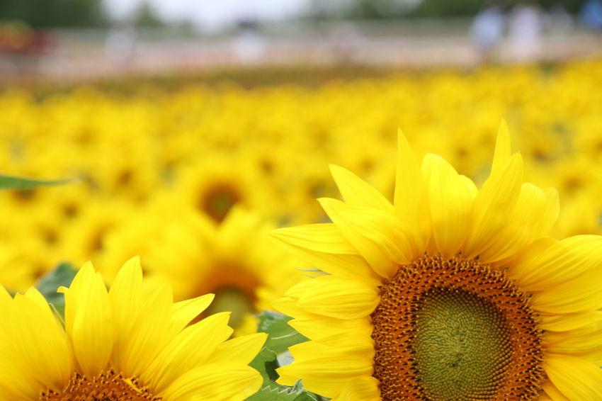 美瑛町 四季彩の丘 花 Flowers Sunflower ひまわり