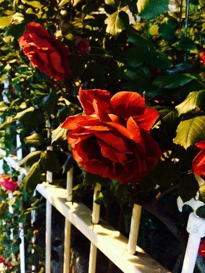Korea Rosé Redrose