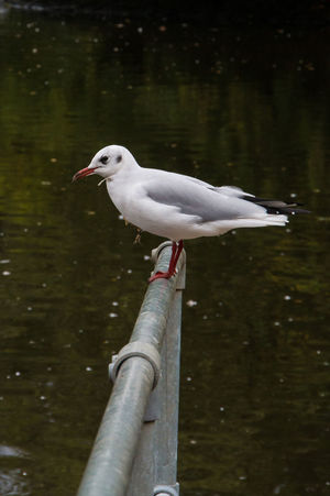 Animal Animals In The Wild Animal Themes Vertebrate Animal Wildlife Bird Water One Animal Nature No People Day Perching Lake Focus On Foreground Side View Outdoors White Color Reflection Seagull