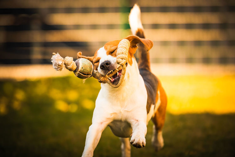 Happy beagle dog in backyard runs and hops jocularly with the toy towards camera. pets in garden.