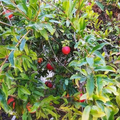 гранаты флораифауна растения Природа гранат pomegranate plants fall onthestreet life instaisrael zihronyakov instagood instagram_israel instagram_israel_ moments nature