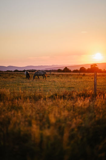 View of horses grazing in field during sunset