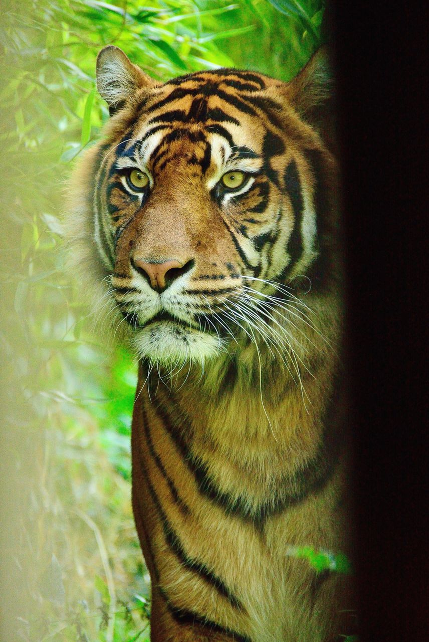 Tiger Looking Away